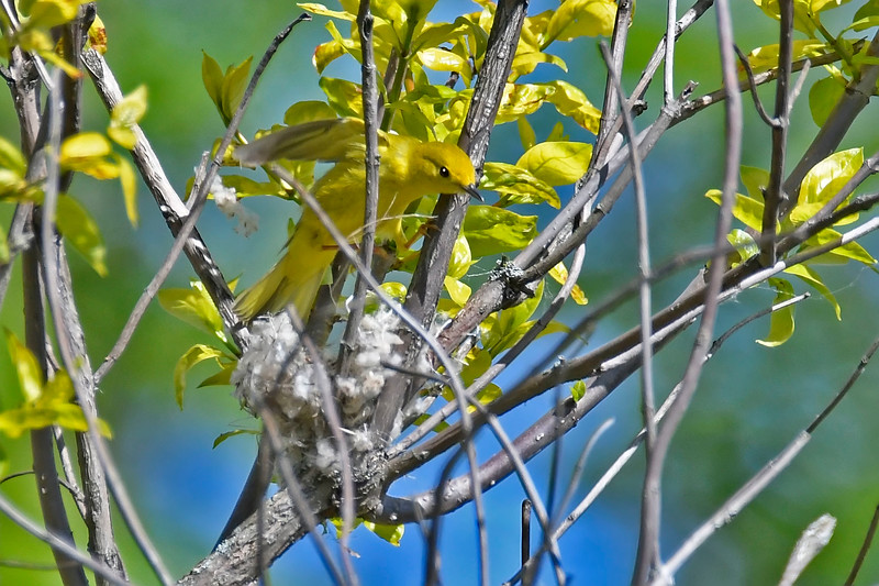 YellowWarbler-MM-5-15-17-SJS-002