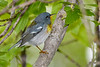NorthernParula-MageeMarsh-5-13-19-SJS-001