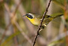 CommonYellowThroat-LAWD-11-16-18-SJS-007