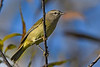 PalmWarbler-EmeraldaMarsh-11-7-19-SJS-003