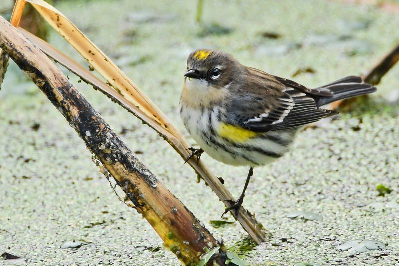 YellowRumpedWarbler-LAWD-FL-1-5-18-SJS-002
