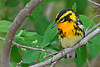 BlackburianWarbler-MageeMarsh-5-9-18-SJS-002