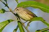 PalmWarbler-EmeraldaMarsh-10-11-19-SJS-003