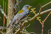 NorthernParula-LYE-3-7-19-SJS-001