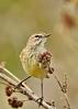 PalmWarblerWarbler-LAWD-2-24-17-SJS-003