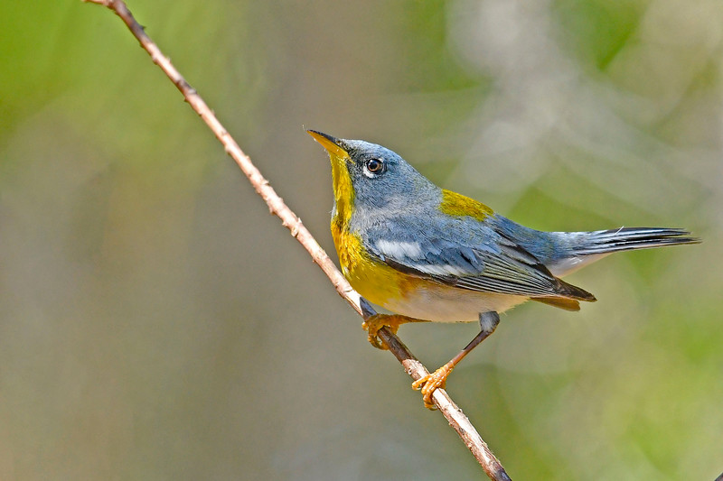 NorthernParula-LYE-3-7-19-SJS-002