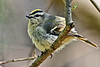 Golden-CrownedKinglet-MageeMarsh-5-7-18-SJS-002