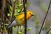 ProthonotaryWarbler-MageeMarsh-5-7-18-SJS-007