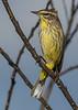 Palm Warbler-LAWD-1-25-19-SJS-003