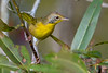 CommonYellowThroat-EmeraldaMarsh-11-23-19-SJS-004