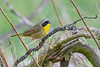 CommonYellowThroat-WVWFP-2019-SJS-024