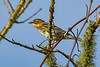 YellowRumpedWarbler-PineMeadows-1-12-20-SJS-001