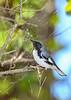 BlackThroatedBlueWarbler(m)-SawgrassPreserve-5-2-20-SJS-07