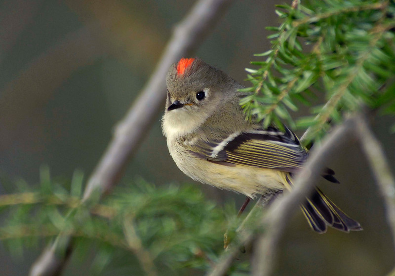 Ruby-crownedKinglet-011