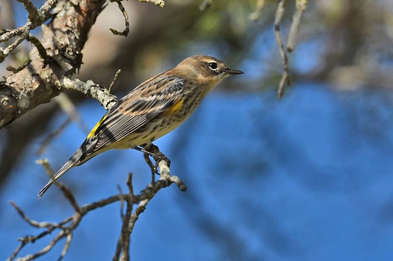 Yellow-RumpedWarbler-OcalaNF-FL-11-7-18-SJS-008