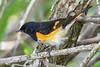 AmericanRedstart(male)-LAWD-4-26-19-SJS-006
