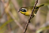 CommonYellowThroat-LAWD-11-16-18-SJS-006