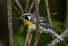 YellowThroatedWarbler-OLenoSP-8-23-20-sjs-002