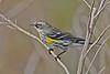 YellowRumpedWarbler-LAWD-2-3-18-SJS-003