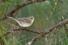 PineWarbler-PineMeadows-11-15-19-SJS-004