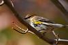 YellowRumpedWarblerHamptonVA-2014-sjs-001