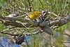 PineWarbler-OcalaNationalForest-12-5-18-SJS-010