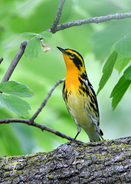BlackburnianWarbler-MM-5-17-17-SJS-002