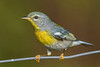 NorthernParula(male)-SawgrassIsland-5-13-20-SJS-04