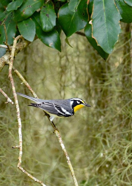 YellowThroatedWarbler-LYE-9-16-20-sjs-001