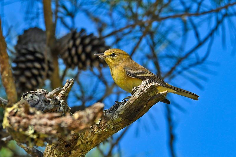 PineWarbler-OcalaNF-9-24-19-SJS-003