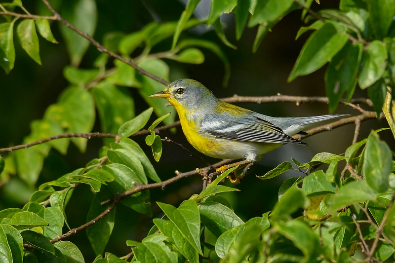 NorthernParula-LAWD-10-25-19-SJS-007