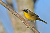 CommomYellowThroat-LAWD-9-7-18-SJS-004