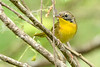 CommonYellowThroat-LAWD-9-21-19-SJS-002