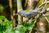 NorthernParula(male)-EmeraldMarsh-4-28-20-SJS-001