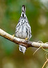 Black&WhiteWarbler-PineMeadowsCA-12-24-19-SJS-005