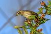 PalmWarbler-EmeraldaMarsh-11-7-19-SJS-002