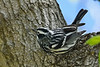 Black&WhiteWarbler-MageeMarsh-5-7-18-SJS-001