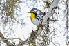 YellowThroatedWarbler-PineMeadows-11-15-19-SJS-001