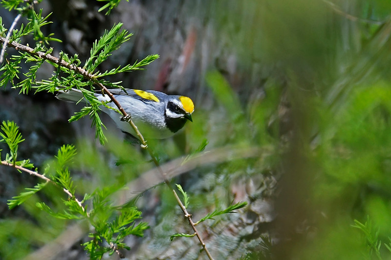 Golden-wingedWarbler-MM-5-15-17-SJS-001