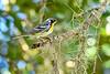 YellowThroatedWarbler-LYE-9-15-19-SJS-004
