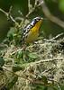 YellowThroatedWarbler-OcalaNF-8-3-20-sjs-002