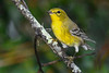 PineWarbler-EmeraldaMarsh 10-22-19-SJS-002