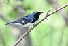 Black-throatedBlueWarbler-MM-5-17-17-SJS-001