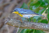 NorthernParula-LYE-3-25-19-SJS-005