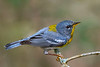 NorthernParula-LettuceLake-4-30-19-SJS-002