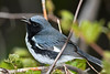 BlackThroatedBlueWarbler-MageeMarsh-5-13-19-SJS-002