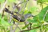 MagnoliaWarbler-MM-5-17-17-SJS-001