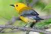 ProthonotaryWarbler-MageeMarsh-5-13-19-SJS-012