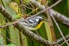 YellowThroatedWarbler-PineMeadows-11-15-19-SJS-002