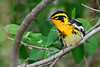 BlackburianWarbler-MageeMarsh-5-9-18-SJS-005